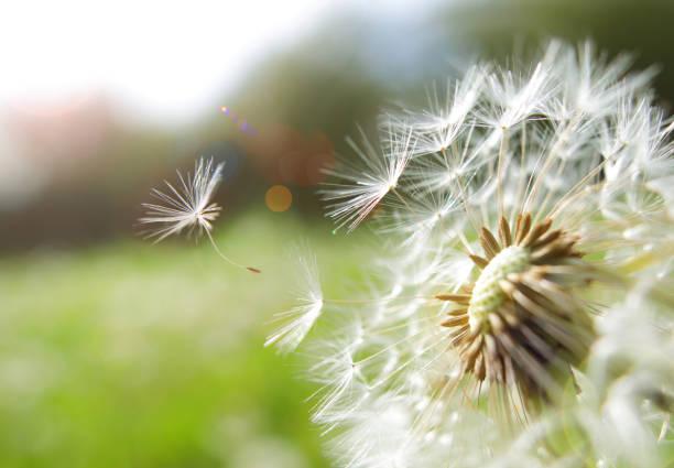Seed coming away from dandelion:スマホ壁紙(壁紙.com)