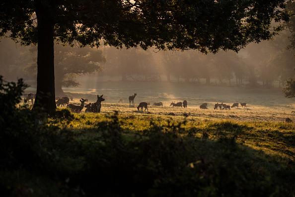 Horizontal「Deer On An Autumn Morning At Ashton Court」:写真・画像(1)[壁紙.com]