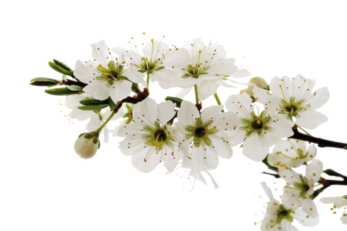 Hawthorn「Blossoms of whitethorn (Crataegus), close-up」:スマホ壁紙(1)
