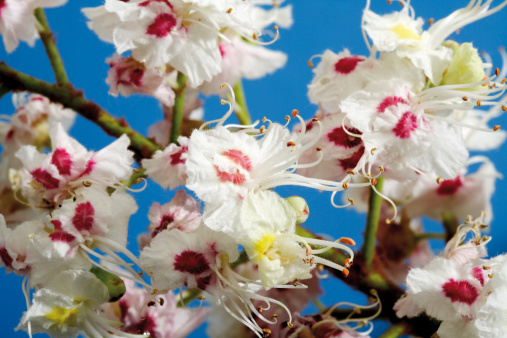 Chestnut - Food「Blossoms of chestnut tree (Aesculus hippocastanum), close-up」:スマホ壁紙(19)