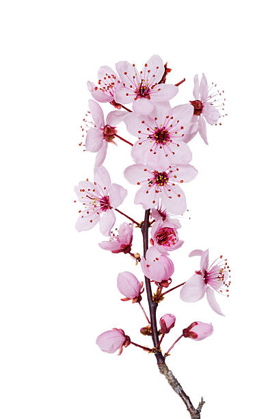 Blossoms of purple-leaf plum in front of white background:スマホ壁紙(壁紙.com)