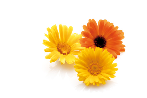 Marigold「Blossoms of calendulas (Calendula officinalis)」:スマホ壁紙(11)