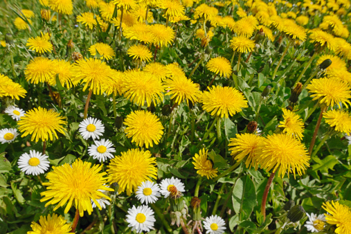 たんぽぽ「Blossoms of Common dandelions (Taraxacum officinale) and daisies (Bellis perennis)」:スマホ壁紙(12)