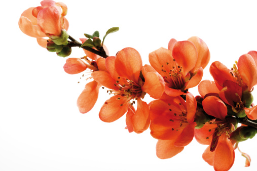 カリン「Blossoms of flowering quince (Chaenomeles), close-up」:スマホ壁紙(6)