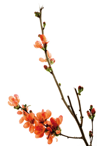 カリン「Blossoms of flowering quince (Chaenomeles), close-up」:スマホ壁紙(1)