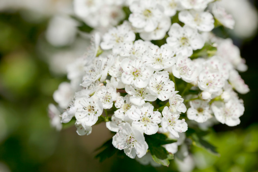 Hawthorn「Blossoms of Hawthorn (Crataegus monogyna) or May Blossom」:スマホ壁紙(3)