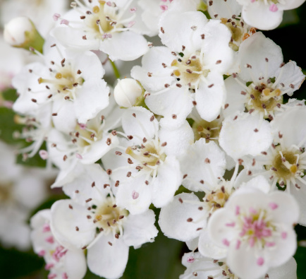 Hawthorn「Blossoms of Hawthorn (Crataegus monogyna) or May Blossom」:スマホ壁紙(7)