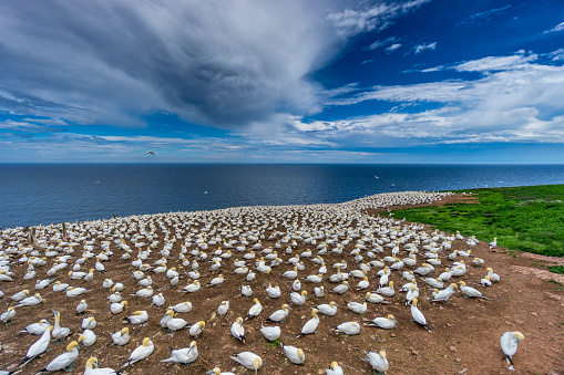 Island「A glimpse at Bonaventure Island's and its world's largest colony of Northern gannets, where over 200 thousand birds call this place home 6 months out of the year.」:スマホ壁紙(7)
