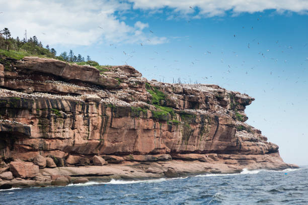 A glimpse at the beginning of Bonaventure Island's cliff where the world's largest colony of Northern gannets, over 200 thousand birds, call this place home, 6 months out of the year.:スマホ壁紙(壁紙.com)