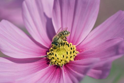 コスモス「Bee feeding on a cosmos flower」:スマホ壁紙(16)