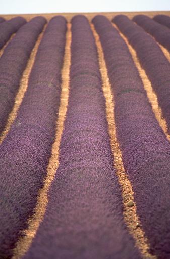 French Lavender「Field of French Lavender」:スマホ壁紙(12)
