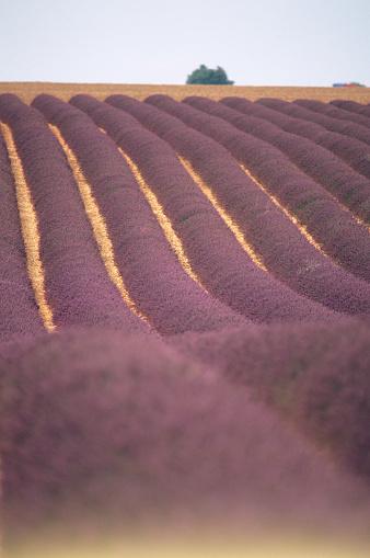 French Lavender「Field of French Lavender」:スマホ壁紙(16)