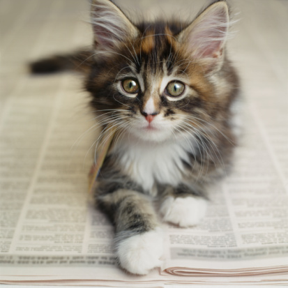 Animal Whisker「Kitten laying on newspaper」:スマホ壁紙(12)