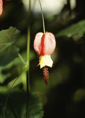 Flowering Maple「Trailing Abutilon. Tokyo Prefecture, Japan」:スマホ壁紙(6)