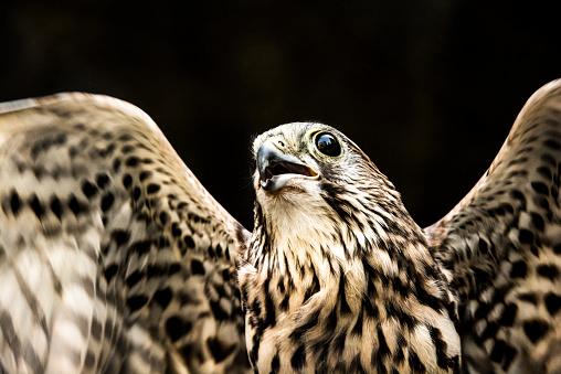Hawk - Bird「Flying falcon portrait」:スマホ壁紙(19)