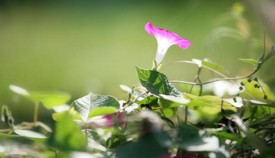 朝顔「Single morning glory flower.」:スマホ壁紙(11)