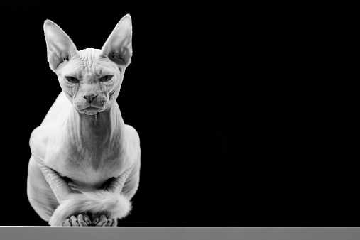 Males「Canadian Sphinx Hairless Cat」:スマホ壁紙(12)