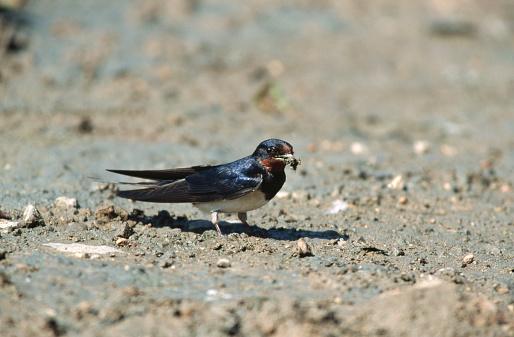 Barn Swallow「Barn Swallow Collecting Mud and Twigs」:スマホ壁紙(18)