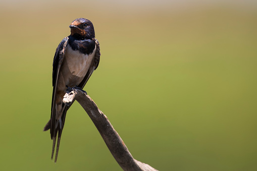 Barn Swallow「Barn swallow sitting on a barbwire with soft green background - Rietvlei Nature Reserve South Africa」:スマホ壁紙(18)