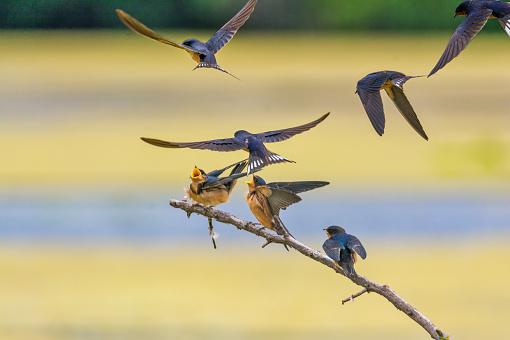 Barn Swallow「barn swallow feeding frenzy」:スマホ壁紙(9)