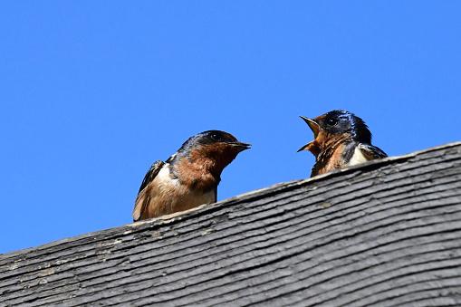 Barn Swallow「Barn Swallow」:スマホ壁紙(13)