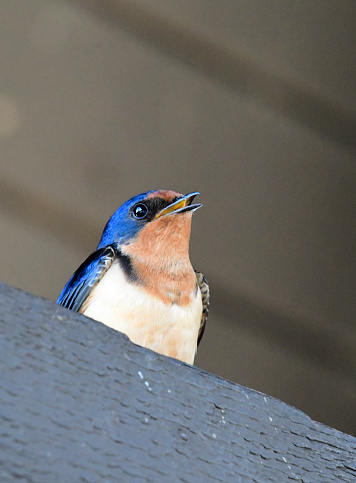Barn Swallow「Barn Swallow」:スマホ壁紙(6)