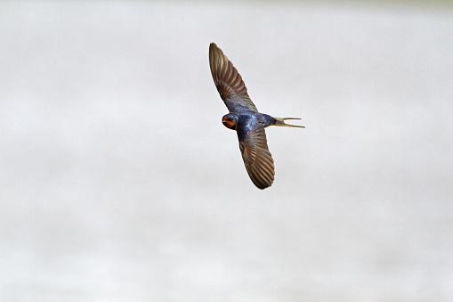 Barn Swallow「Barn Swallow」:スマホ壁紙(4)