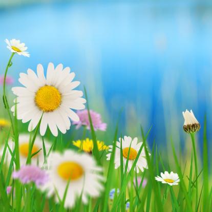 花畑「Daisies 、湖」:スマホ壁紙(19)