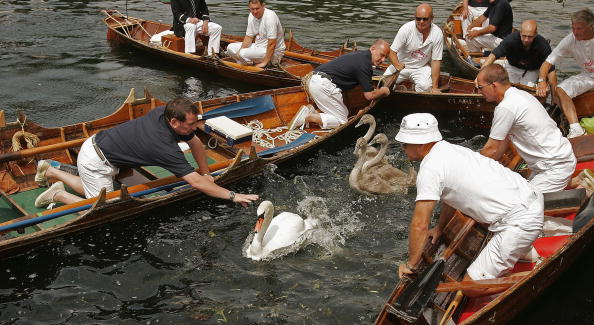 Coral - Cnidarian「Swan Upping Takes Place On The Thames」:写真・画像(9)[壁紙.com]