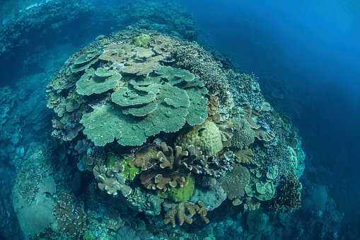 ソロモン諸島「Colorful reef-building corals grow on a reef in the Solomon Islands.」:スマホ壁紙(5)
