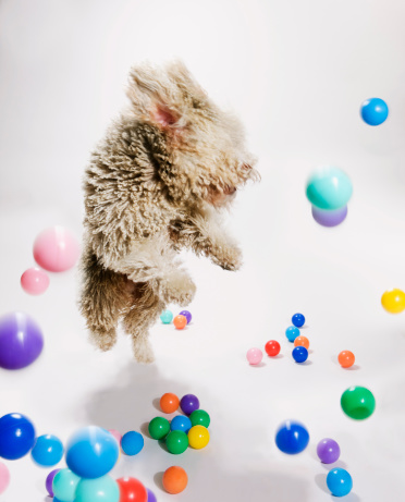 かえる「A Portuguese Waterdog jumping amongst falling colored balls」:スマホ壁紙(15)