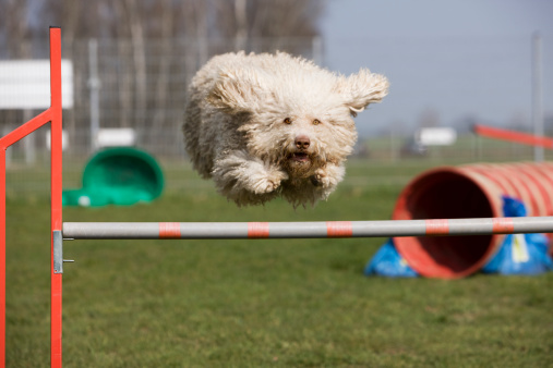 Hurdle「A Portuguese Waterdog jumping over a hurdle」:スマホ壁紙(10)