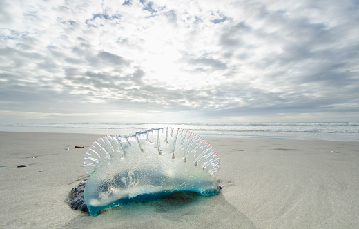 自生「Portuguese Man O' War, North Carolina coast」:スマホ壁紙(14)