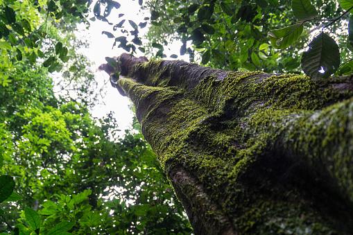 Amazon Rainforest「Amazon rain forest tree」:スマホ壁紙(1)