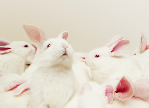 Animal Ear「Group of white rabbits (Oryctolagus cuniculus), close up」:スマホ壁紙(2)