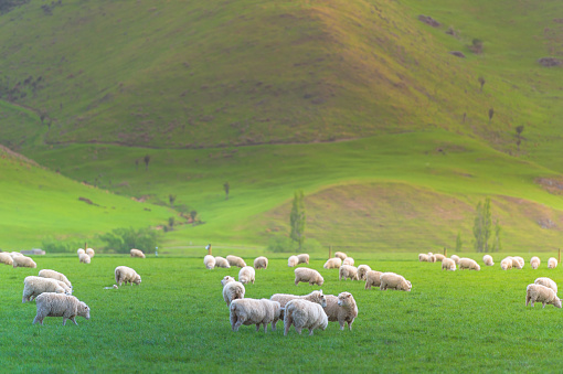 Wool「Group of White sheep in south island New Zealand with nature landscape background」:スマホ壁紙(1)