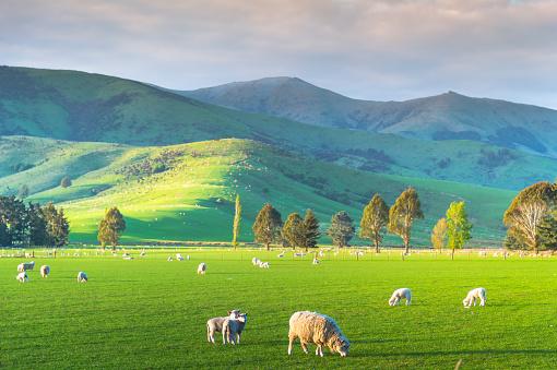 Westland - South Island New Zealand「Group of White sheep in south island New Zealand with nature landscape background」:スマホ壁紙(11)