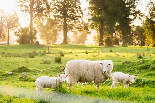 Westland - South Island New Zealand「Group of White sheep in south island New Zealand with nature landscape background」:スマホ壁紙(17)