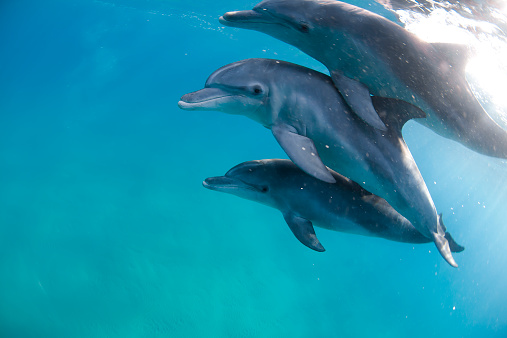 Bottle-nosed Dolphin「Three bottlenose dolphins swimming in sea, Ponta do Ouro, Mozambique」:スマホ壁紙(18)