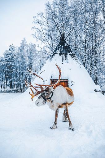Reindeer Sledding「Reindeer standing on a snow against Lapland shelter (Lavvu) in Finland」:スマホ壁紙(7)