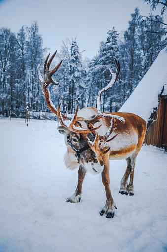Reindeer Sledding「Reindeer standing on a snow against Lapland shelter (Lavvu) in Finland」:スマホ壁紙(4)