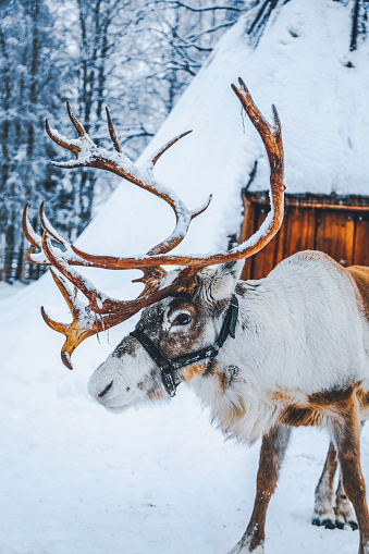 Reindeer Sledding「Reindeer standing on a snow against Lapland shelter (Lavvu) in Finland」:スマホ壁紙(8)