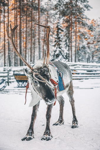 Reindeer Sledding「Reindeer standing on a snow in Lapland in Finland」:スマホ壁紙(1)