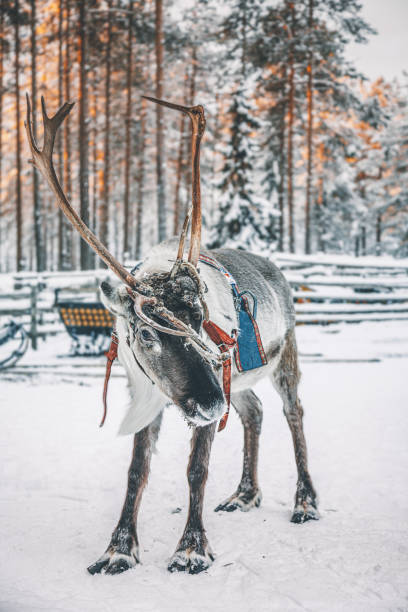 Reindeer standing on a snow in Lapland in Finland:スマホ壁紙(壁紙.com)