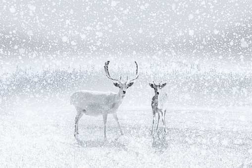 野生動物「Reindeer stand in a clearing as the snow falls」:スマホ壁紙(4)