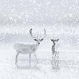 reindeer壁紙の画像(壁紙.com)