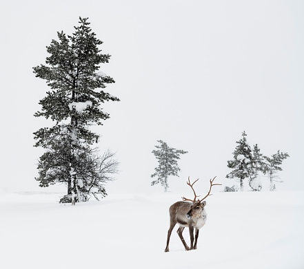 Finland「Reindeer standing in snow in winter landscape of Finnish Lapland, Finland」:スマホ壁紙(3)