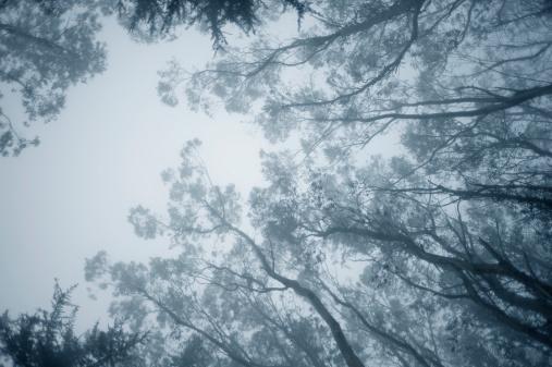 Branch - Plant Part「Tips of Eucalyptus tree branches in fog」:スマホ壁紙(16)