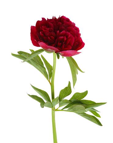 Red「Deep pink peony flower & leaf on white.」:スマホ壁紙(15)