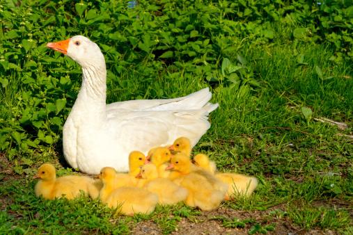 Water Bird「Goose family」:スマホ壁紙(11)